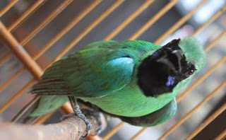 Burung Cucak Hijau Kurang Figter Ini Masalahnya