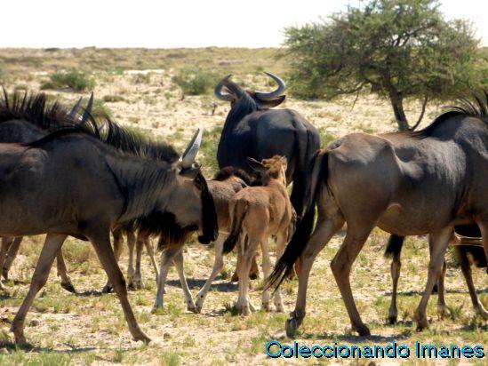 Etosha Animales Namibia Safari Ñu