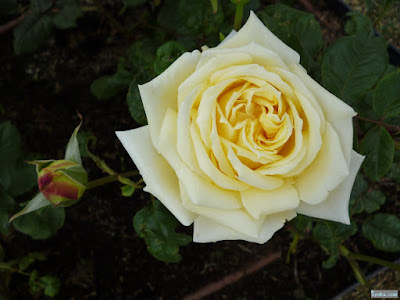 卵色の薔薇