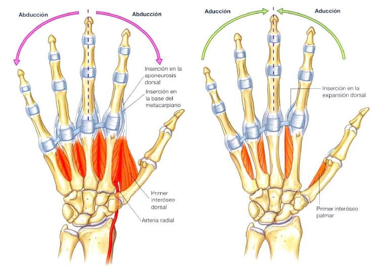 Miología Miembro superior - Kinesiología para Estudiantes
