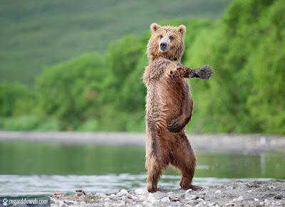 ours brun qui danse