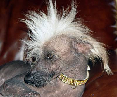Chinese Crested Dog Information
