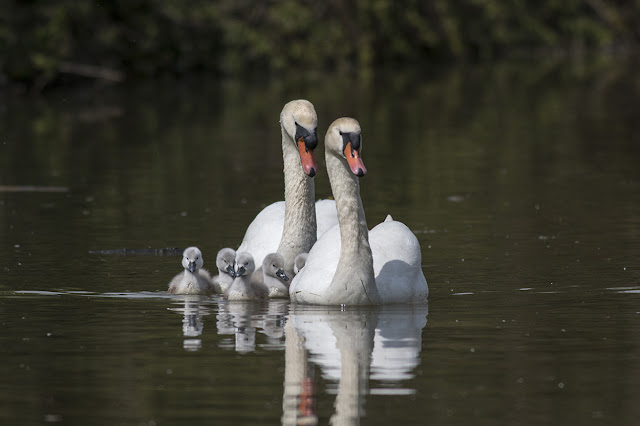 A Tale of Three Birds - Mute swans with cygnets