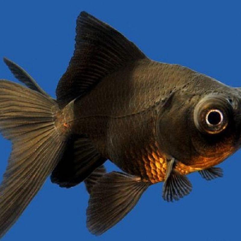 cara memelihara ikan mas koki tanpa oksigen