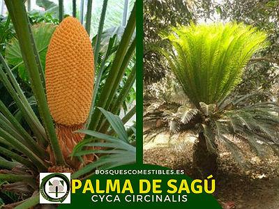 La Cyca circinalis, Palama de Sagú, es más grande que la Cyca revoluta