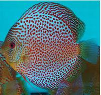 Profil Ikan Hias Diskus warna ikan discus