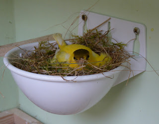 Whoopidooings: Canary sitting on eggs/chicks