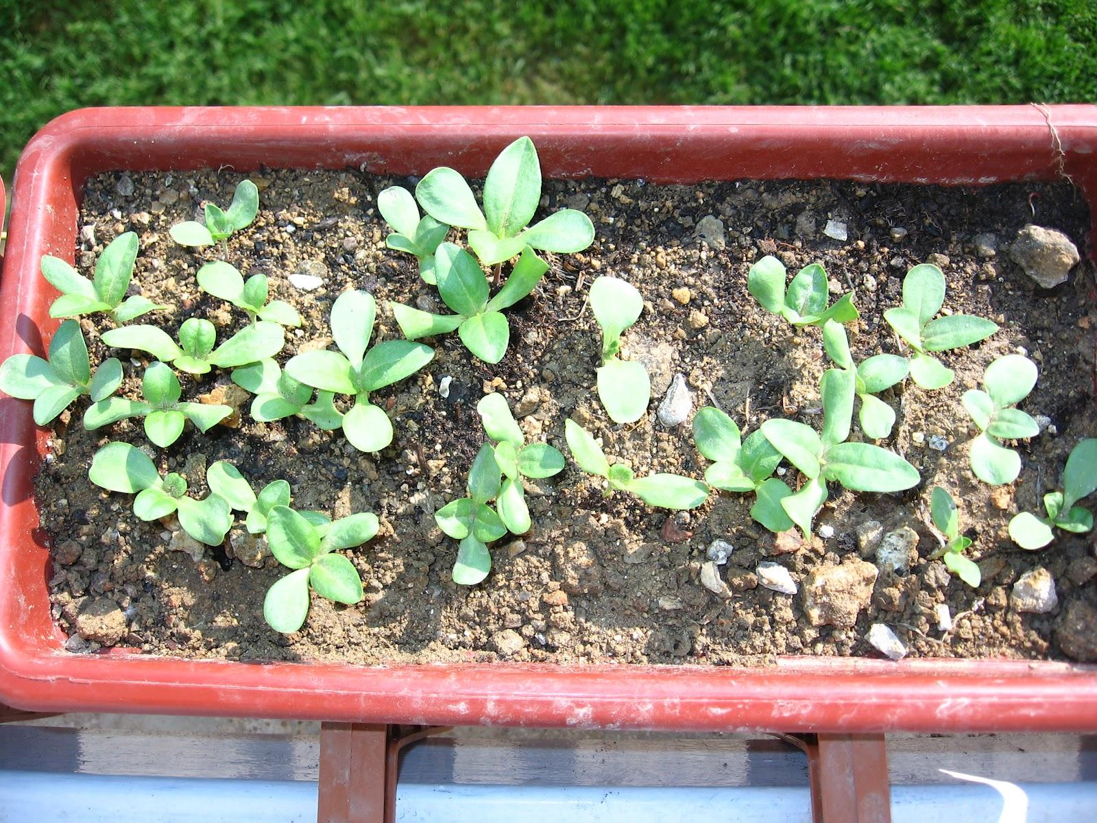 Tohumlardan Pyrethrum: Büyüyen ve Bakım 47
