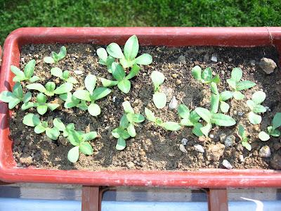 Tohumlardan Pyrethrum: Büyüyen ve Bakım 24