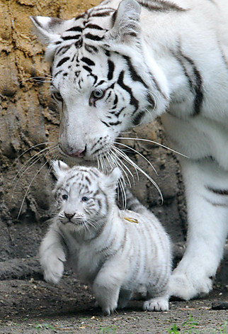 Beautiful White Tiger Cubs Wallpaper ~ Wallpaper & Pictures