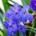 Vanda coerulea sau Orhideea albastră