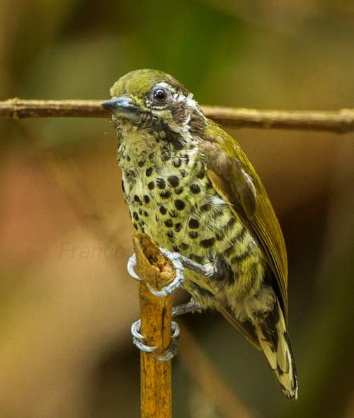 Indian birds - Picture of Speckled piculet - Picumnus innominatus