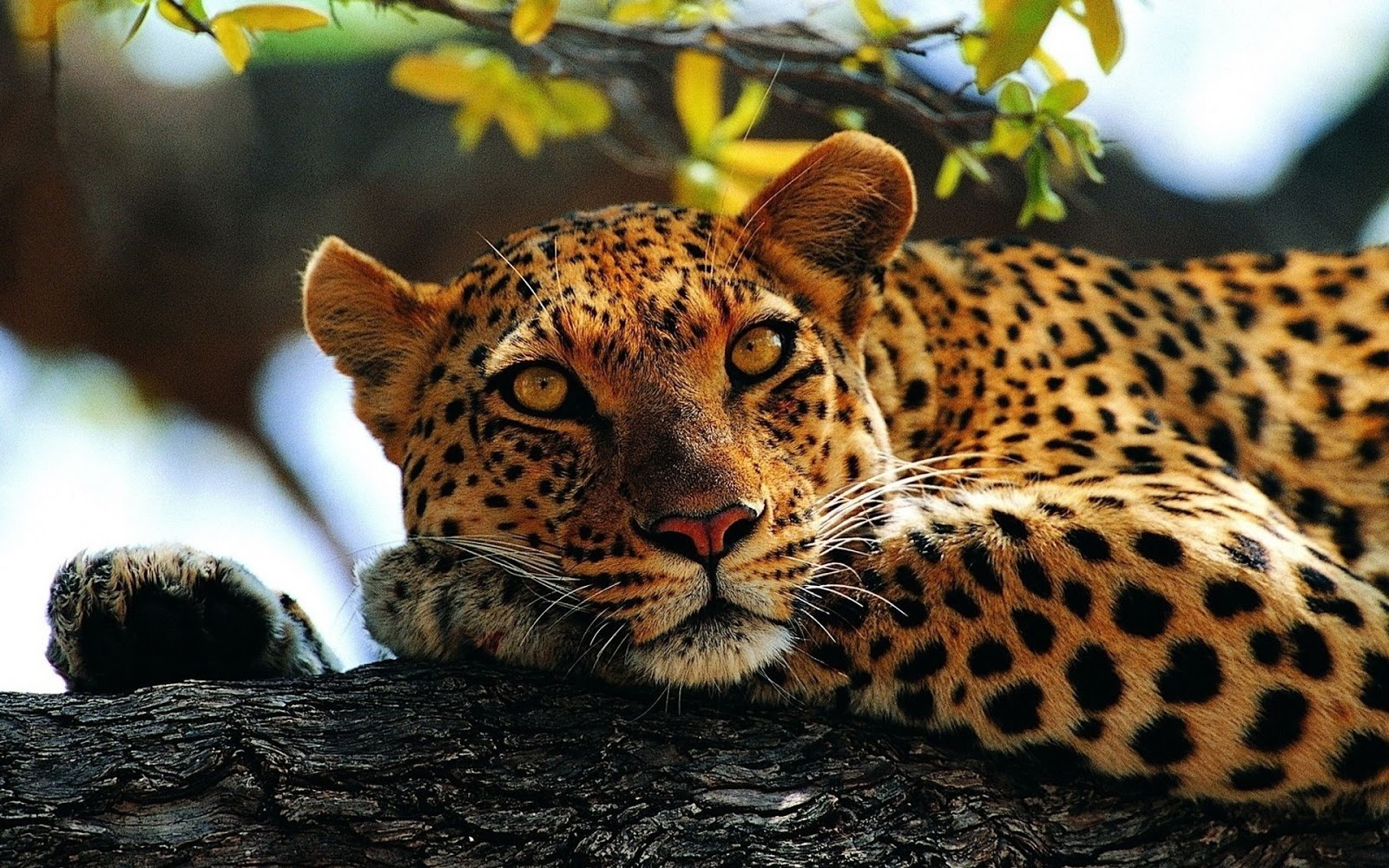 Cool Animal Wallpapers Hd: All About Animal Wildlife: Cheetah Cool HD Wallpapers 2012