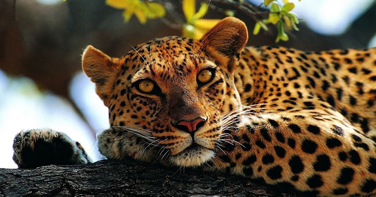 All About Animal Wildlife: Cheetah Cool HD Wallpapers 2012