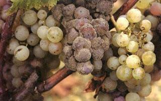 виноград с плесенью