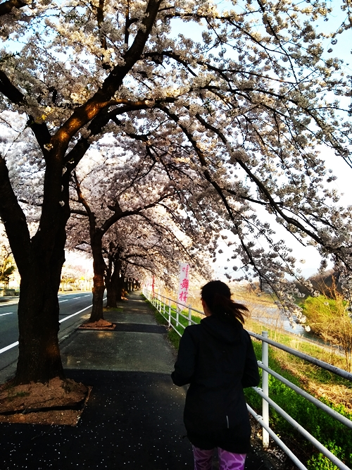 お花見朝ジョグ♪cherry blossom viewing  馬見ヶ崎川沿い@山形市