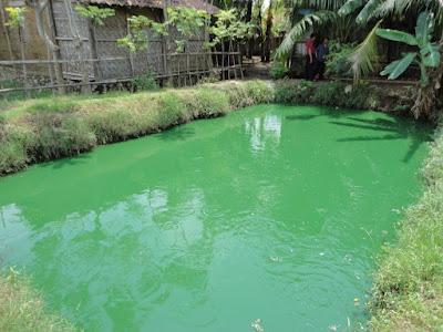 ikan cupang kota serang banten icalofish.blogspot.com
