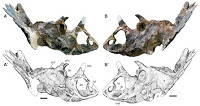 Regaliceratops peterhewsi: A new species of Chasmosaur from the Late Cretaceous of Alberta.                                                                         Ceratopsids are among the most distinctive and...