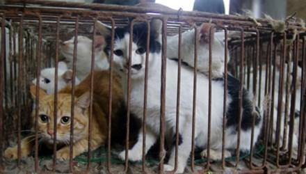 Bệnh Vô Sinh Ở Mèo
