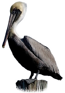 Pelicano-Pardo (Pelecanus occidentalis)