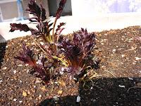 バレリアン(西洋鹿子草)の越冬後の新芽