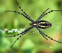 Kuda Laut Bali, Inspirasi dan Eksperimen Para Ilmuan laba-laba