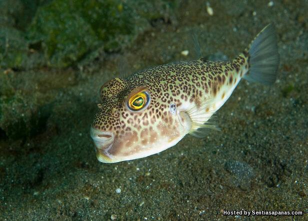 Ikan buntal beracun