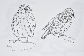 Ink sketches of starlings