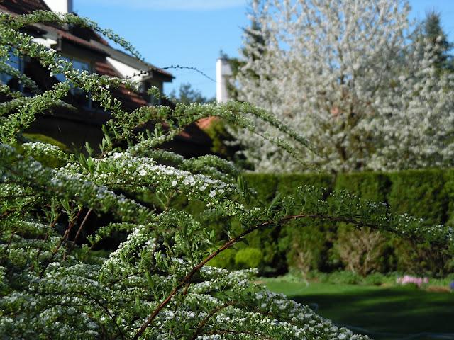 biało kwitnące drzewa