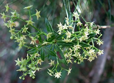 Flores blanquecinas de rubia (Rubia peregrina)