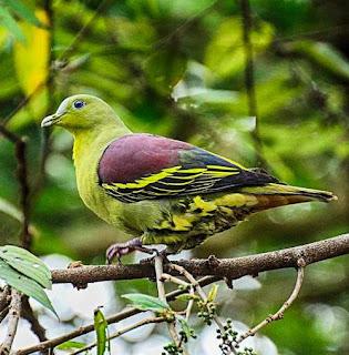 Treron affinis