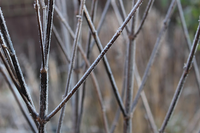 Stems of Salvia 'Amistad' on a hoar frost morning