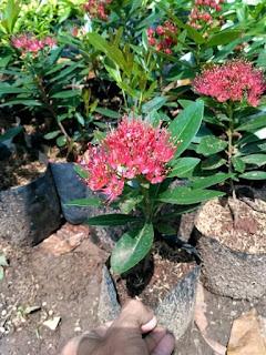 Bunga xhantosthemon ditanam Menggunakan Media Tanam kompos dalam Polybag
