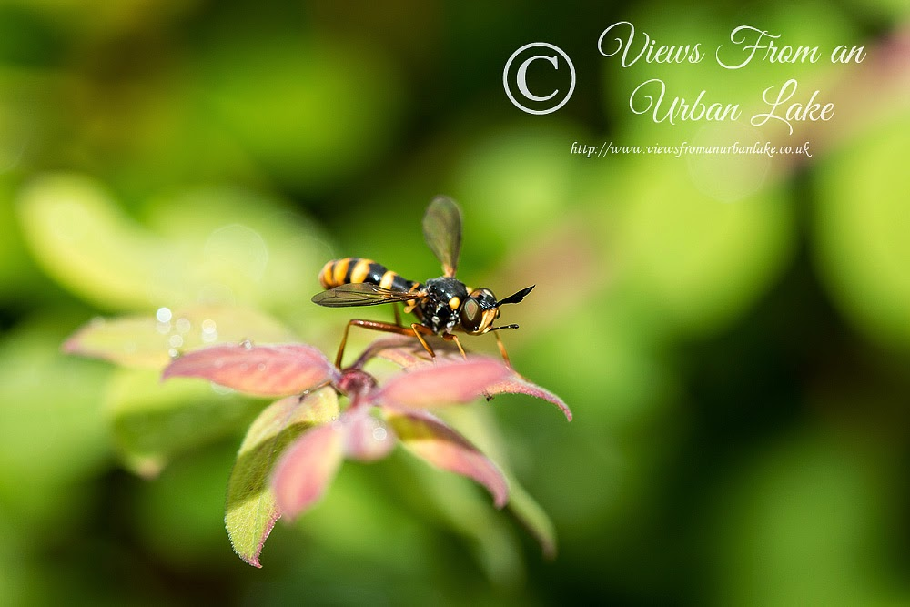 Hoverfly or wasp? - Loughton, Milton Keynes