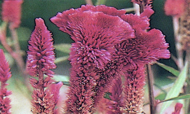 Crista de galo (Celosia cristata)