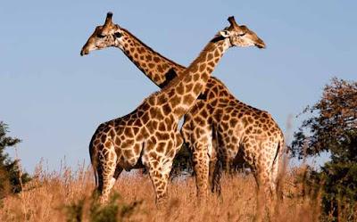 ¿Por qué las jirafas tienen el cuello tan largo?