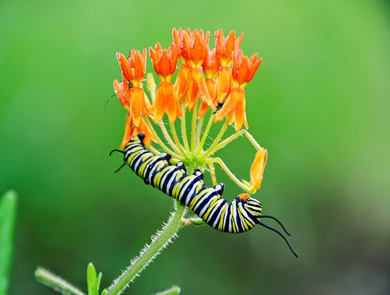 caterpillar on butterfly milkweed