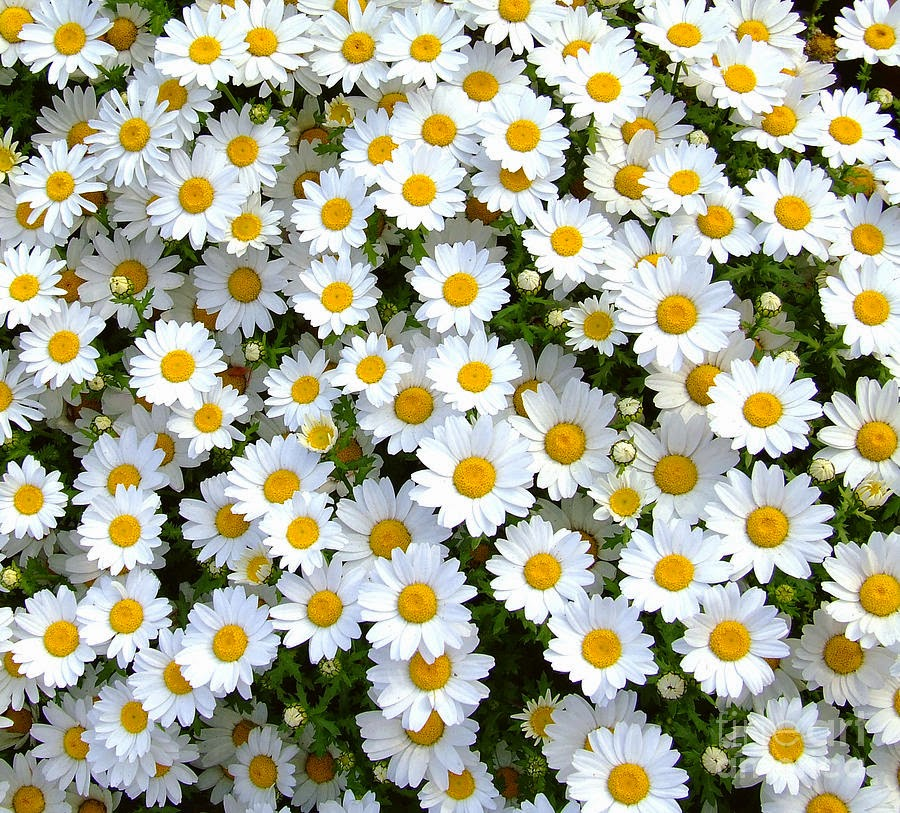 Flower Power Daisy Flower Atau Bunga Aster