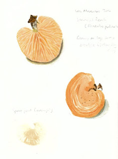 Wrinkled Peach (Rhodotus palmatus) studies, watercolour and coloured pencil