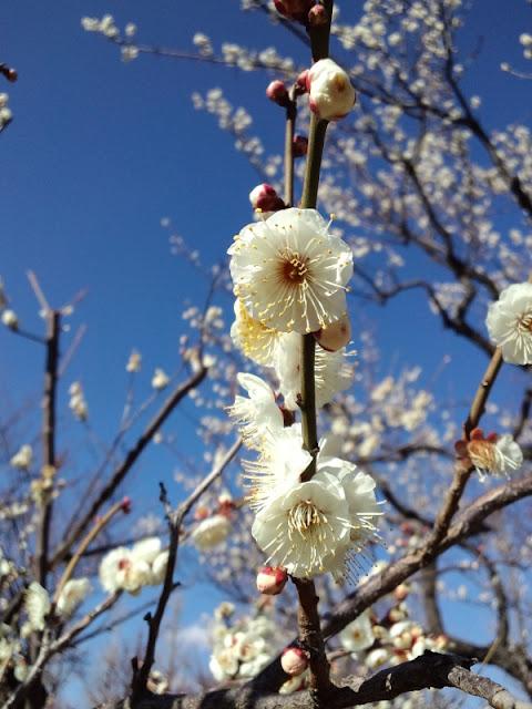 東京都世田谷区、梅ヶ丘の梅まつりで撮影した梅の花です。