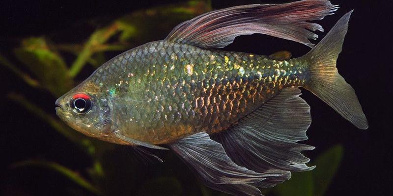 Ikan Hias Diamond Tetra