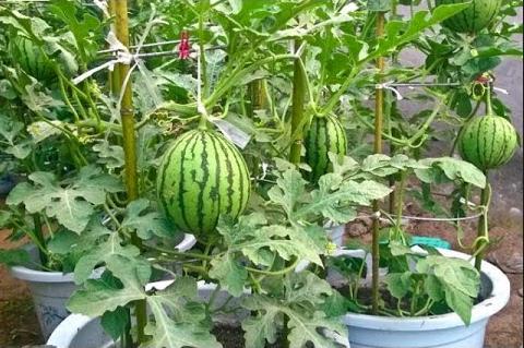 Cara menanam semangka dalam polybag di halaman rumah