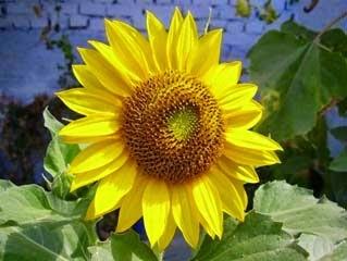 Tanaman Hias Bunga Matahari & cara perawatanya