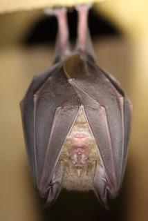 Devon Bat Survey 2017 - Greater Horshoe Bat photo copyright Mike Symes (All Rights Reserved)
