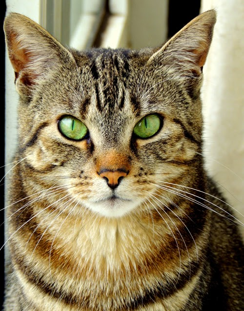 A tabby cat looks at the camera