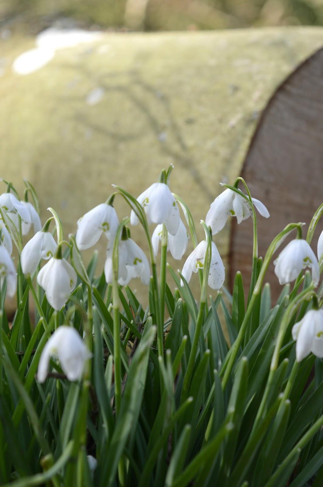 Snowdrops at Wallington National Trust, Northumberland