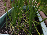 Spring onions growing in containers