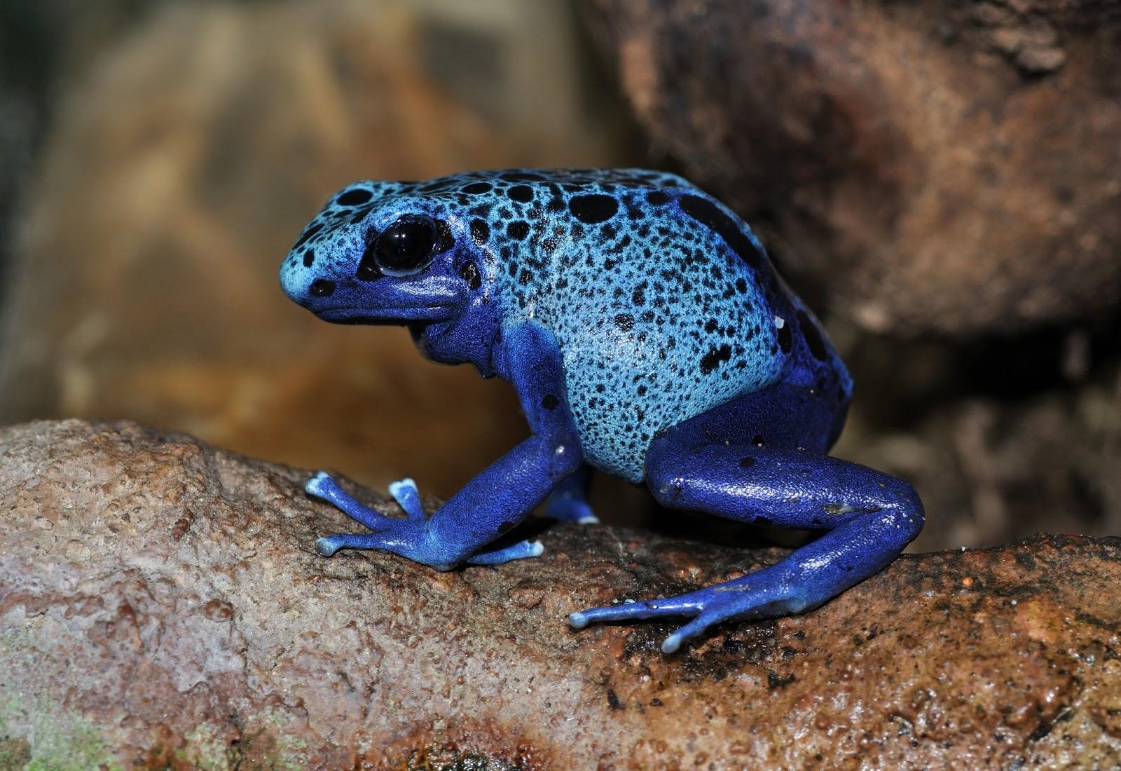 Amphibians: Dendrobates azureus qtl