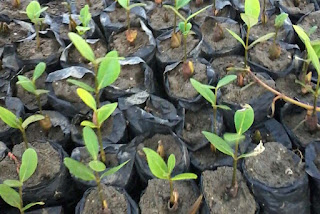 Benih mangrove avicennia sp.