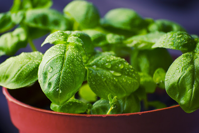What Is The Advantages and Disadvantages Of Basil